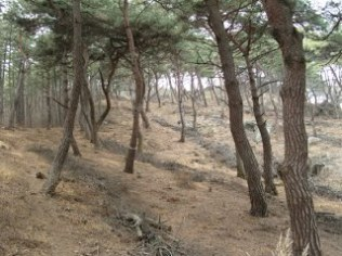 thinning effects on carbon stock in pine forest